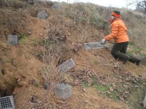 Lebendfang von Kaninchen mit Reusen - Natürlich kann mit diesen Fallen auch  das Frettchen wieder eingefangen werden.