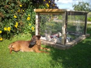 Der Jagdhund muss lernen, die Frettchen als Partner zu akzeptieren